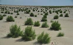 Photo showing Saxaul plantation in Uzbekistan. Photo: Dr. Abdushukur Khamzayev