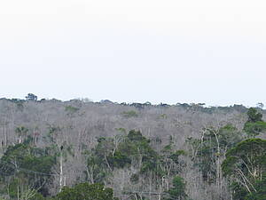 Photo showing: Several trees of different species died after the strong hot and dry period during the 2015-16 El Niño drought in Central Amazon (photo). Now scientists are trying to understand the impacts of this drought event, and subsequent tree mortality, on the carbon stocks in the Amazon basin. Photo by Adriane Esquivel Muelbert