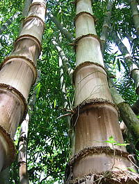 Photo showing Bamboo