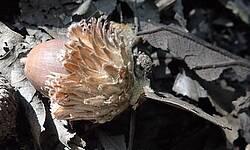 Photo showing Quercus dentata. Photo by Keiko Kitamura