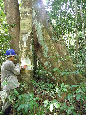 Photo showing Measurement of tree dimensions in permanent sample plot in the Tapajós National Forest, Brazil