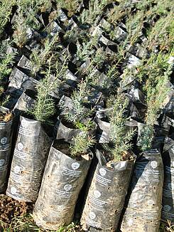 Photo showing Juniperus phoenicea seedlings ready for planting, in a Natural reserve in Sardinia (Italy), originating from seeds of autochtnous plants. Photo by Dr. Giovanbattista de Dato