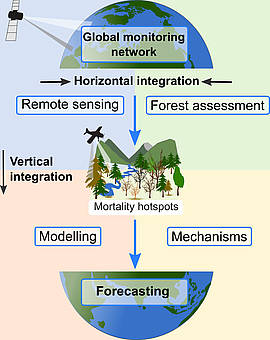 Graphic showing a Strategy for a global monitoring network of tree mortality. Horizontal and vertical integration of data sources allow assessments of background mortality rates as well as mortality hotspots. Long-term monitoring provides information on both mortality trends and patterns. In mortality hotspots, intensive field observations and experiments identify mechanistic relationships that can be used in vegetation models for more realistic projections of future forest conditions.