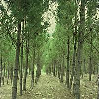 Photo showing Plantation of maritime pine (Portugal) during confernce in Coimbra, November 2019. Photo: Centro PINUS.
