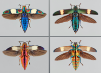 Photo showing Buprestidae. Credit (not protected by copyright): Dr. Nathan Lord.