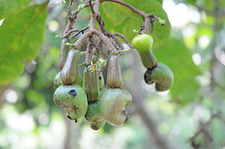 Photo showing cashew nuts on tree, Brazil