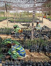 Photo showing Women caring for tree seedlings in a nursery in Niger.