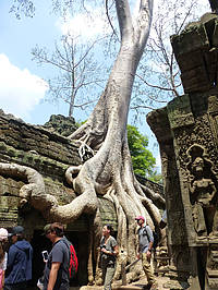 Photo showing Spung tree roots (Tetrameles nudiflora) growing on a temple wall in Angkor, Ta Prohm. Copyright: World Wood Day Foundation