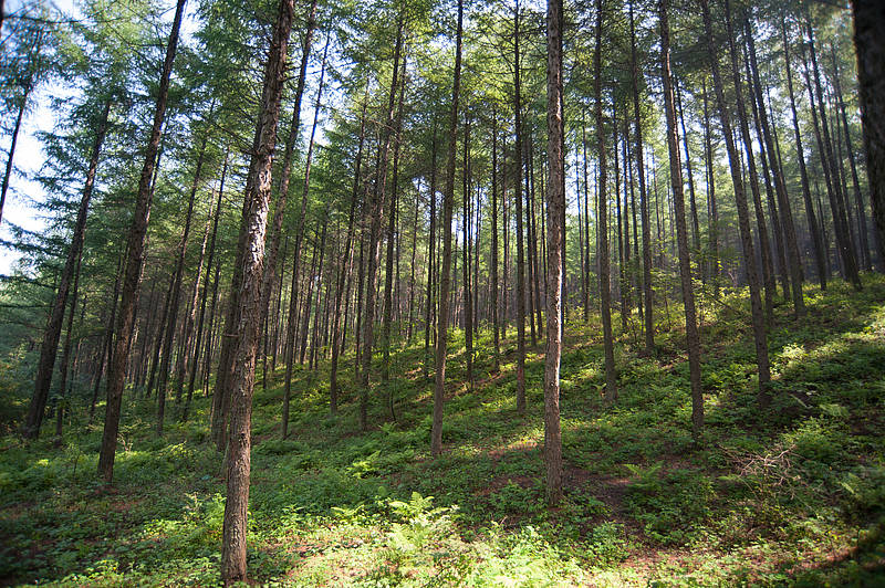 Photo showing Plantation of Olga Bay Larch at Qingyuan in Liaoning Province, China.