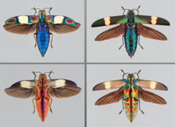 Photo showing Buprestidae. Picture by Dr. Nathan Lord