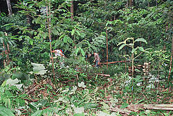 Photo showing Treatment of regenerating natural tropical forests aiming at enhancing productivity, biodiversity and resilience. Photo: Michael Kleine, IUFRO.