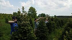 Photo showing Coning research: Michigan State University researchers are working to reduce precocious cone production in Fraser fir Christmas tree plantations. Photo by B. Cregg