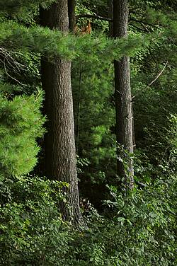 Photo showing White pine and hardwood forests in Massachusetts, USA. Photo by John Parrotta.