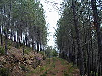 Photo showing Maritime pine stands (Tâmega's Valley, Portugal). Photo: Teresa Fonseca, University of Tras-Os-Montes and Alto Douro.