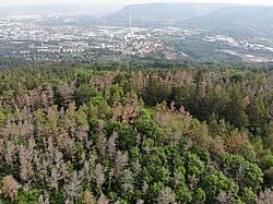 Photo showing Kiefernsterben (Pinus sylvestris) nahe der deutschen Stadt Jena. Große Kiefernbestände in Mitteleuropa wurden Opfer der Dürre von 2018, obwohl die Art sehr trockenresistent ist. Foto Henrik Hartmann.