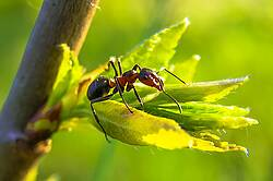 Photo showing ant on young tree leave. Roman Grac on Pixabay