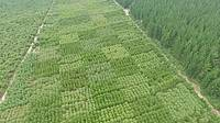 Photo showing Cypress clonal blocks visited on the Tuesday field day