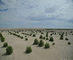 Photo showing Row planting of saxaul seedlings on sandy sediments (planting in spring - 2019). Virtual conference 2020. (source: Novitsky Z.B.)