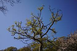 Photo showing an oak tree. Photo by  Robin Greenwood on Pixabay